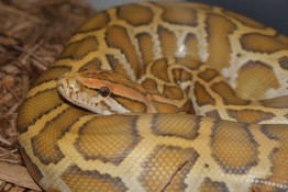 Snake in Snapshot: Caramel Burmese Python