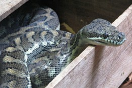 Snake in Snapshot: Jungle Carpet Python (or Diamond Python)  Home Habitat: Australia, Indonesia and New Guinea  Favorite Food: Small mammals, bats, bids, rodents  Size: 5-10 feet  Danger Factor: Low. These snakes are pretty docile when they are full grown, however as hatchlings they nip.