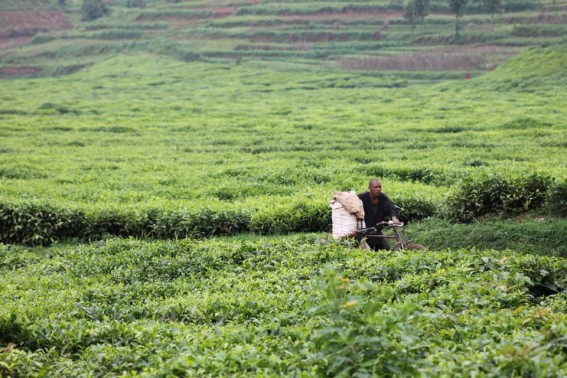 A man pushes his bike through the tea fields of Rwanda. Coffee and Tea are two of the country's largest exports.