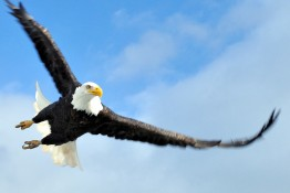 Bald Eagle Swoop