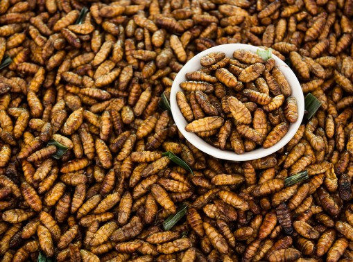 Fried Insects,close up fried silk worms in the thailand market.
