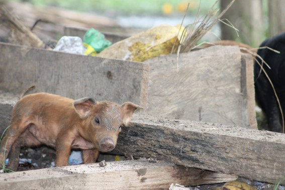 I got to meet one of the newest additions to the Embera community--this little guy.