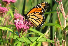 a monarch butterfly sipping nectar from a swamp milkweed flower.