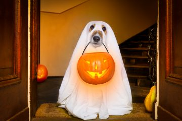 dog sit as a ghost for halloween in front of the door at home entrance with pumpkin lantern or light scary and spooky
